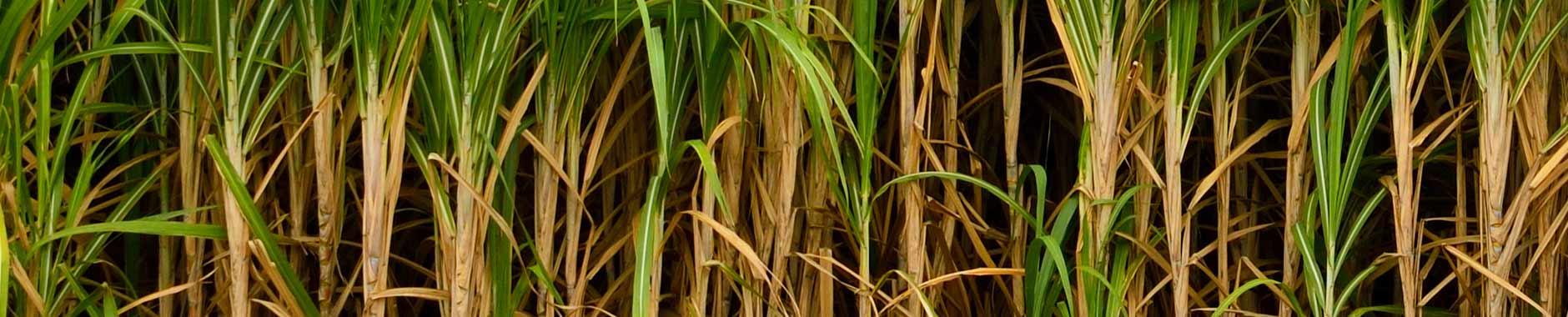 https://storage.googleapis.com/rocky-esss-co/sitewp/2019/04/7931bad9-bg-sugarcane-bagasse.jpg