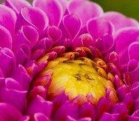 Bleeding Rose by Flowerangel