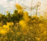 Golden Summer by Alystraea