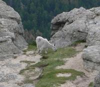 Lone Little Goat by Xatyr