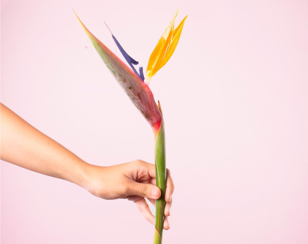 Conoce a la flor Ave del paraiso y obséquiala