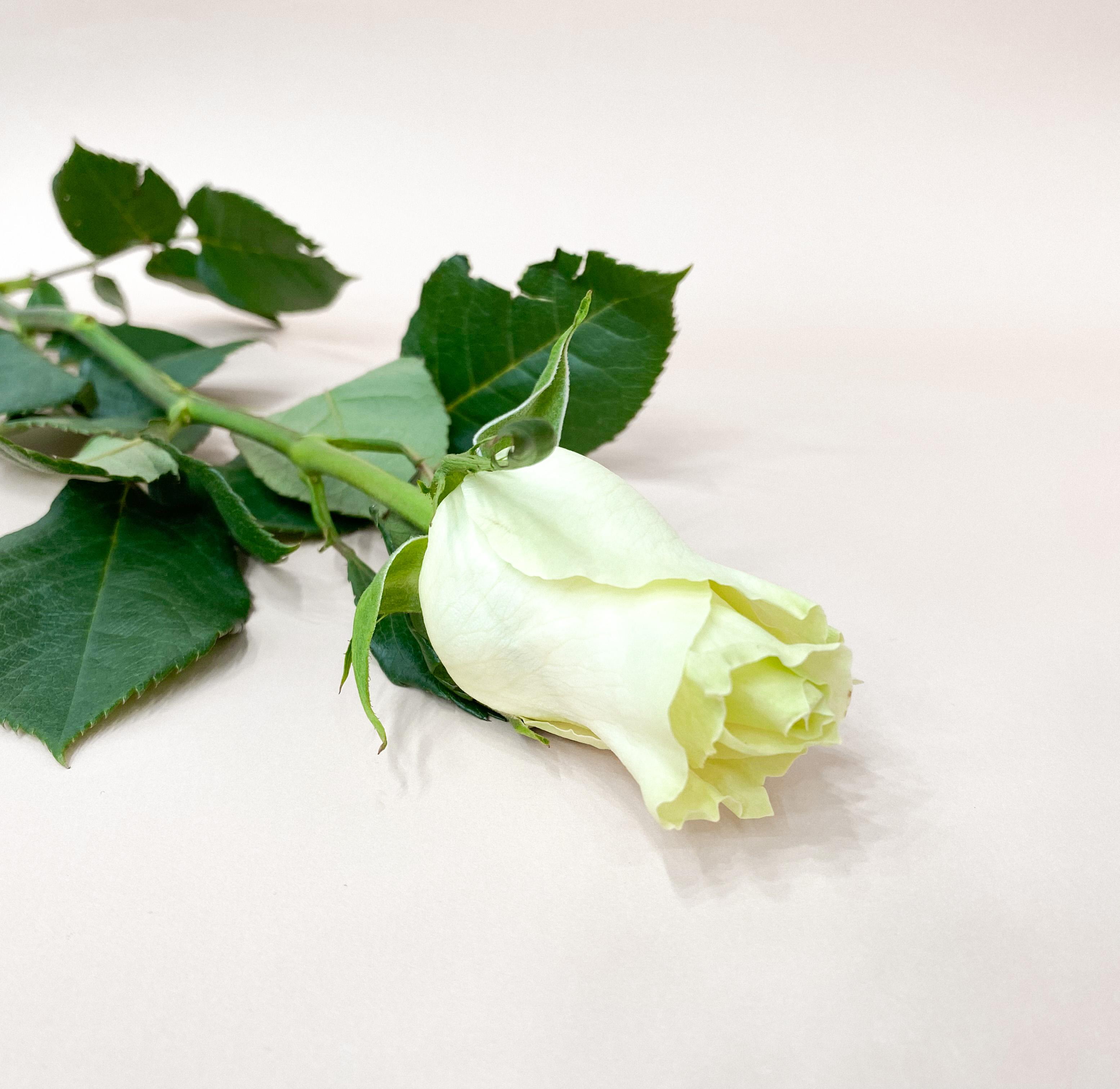 La clásica rosa blanca