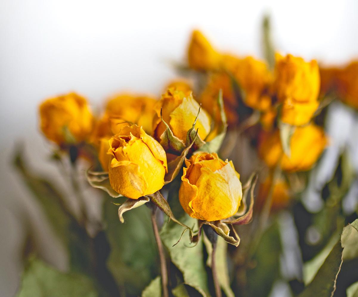 Descubre algunas formas de secar tus flores luego de que han cumplido su ciclo de vida
