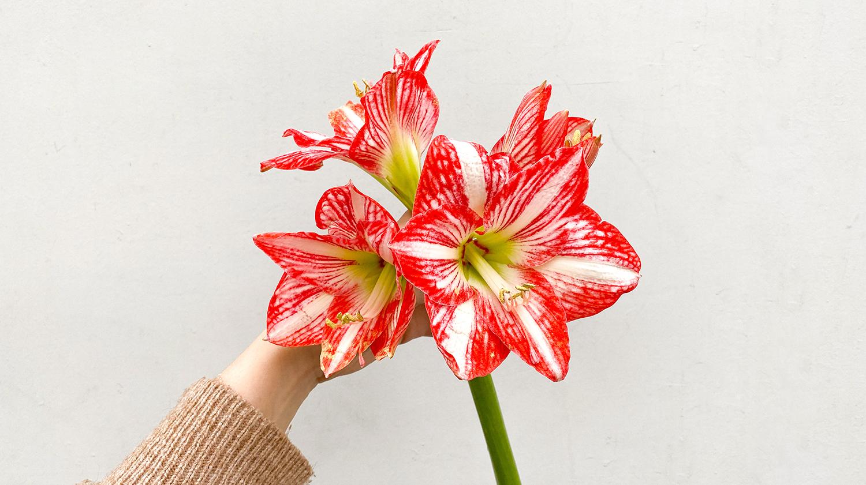 Amarilis: Una flor exótica y una maravillosa planta de interior para sorprender