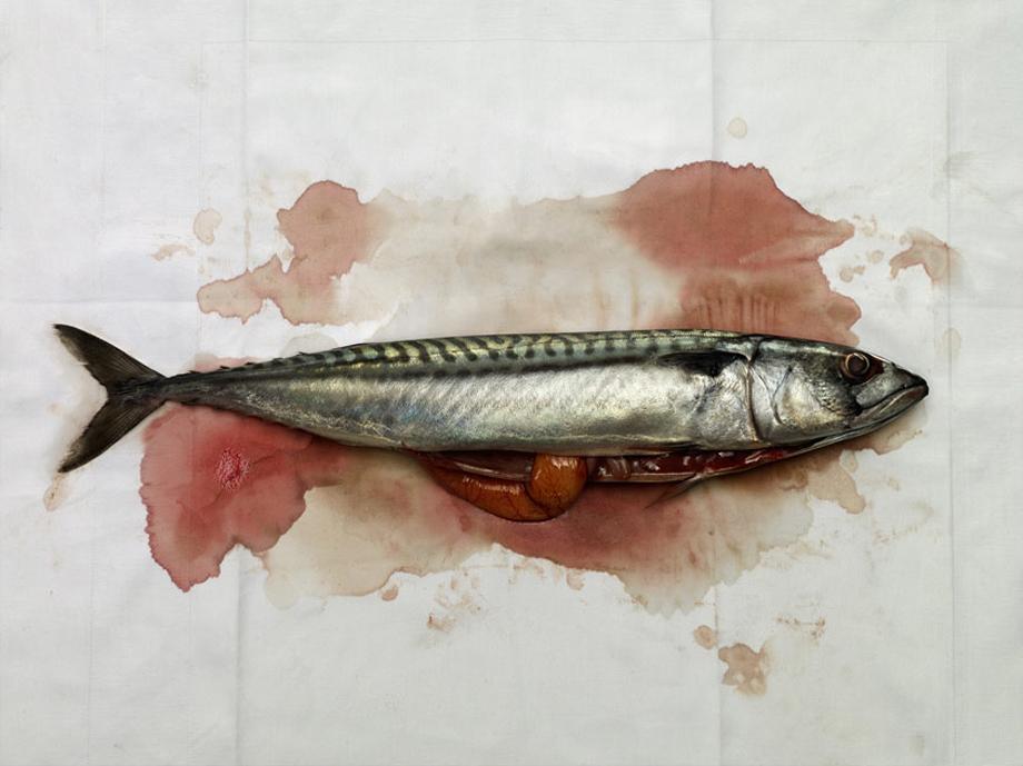 Freshly caught mackerel on blotting paper
