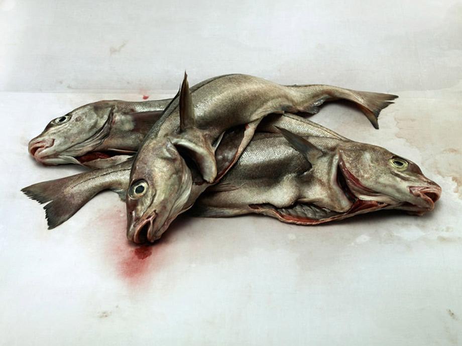 Haddock on blotting paper