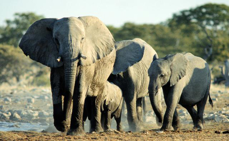 african elephants bbc