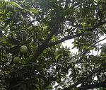 Weekend Gardening - Mango Trees In Our Backyard