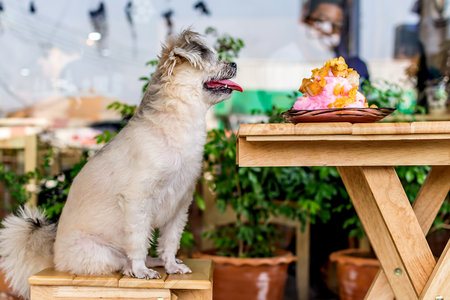 White Dog Sitting on a Wooden Bench and Looking at a Plate of Food