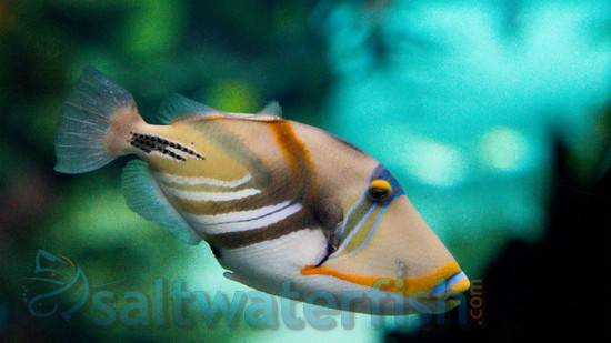 Buy from Saltwaterfish.com - Saltwater fish