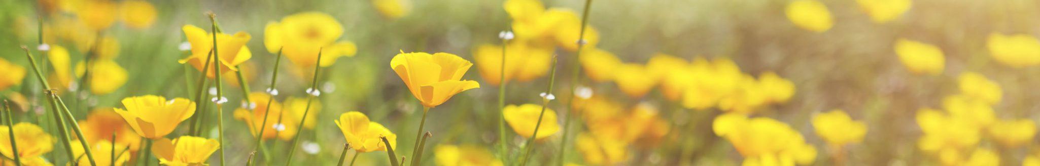 Blooming yellow prairie flowers