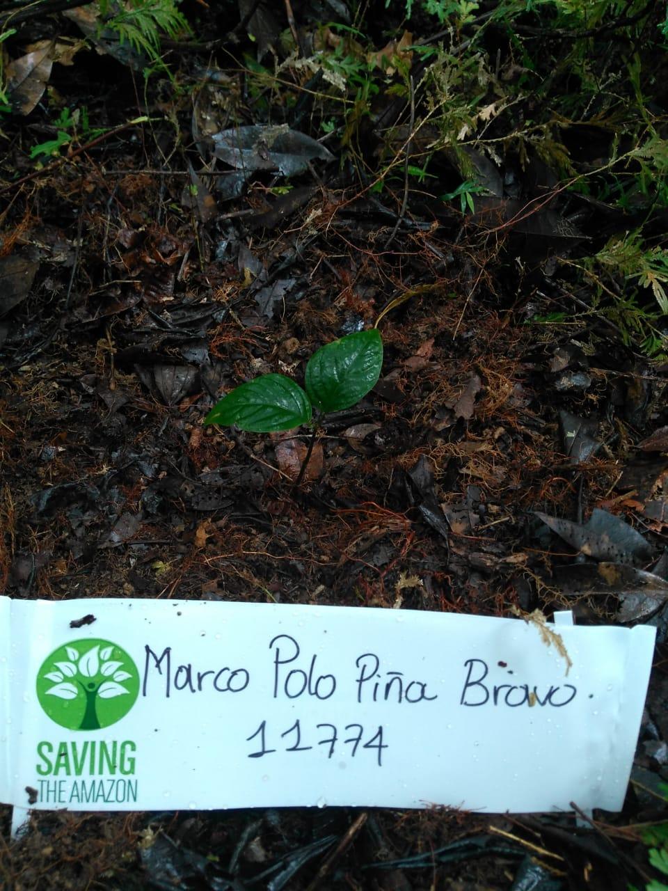 Marco Polo Pineapple Bravo