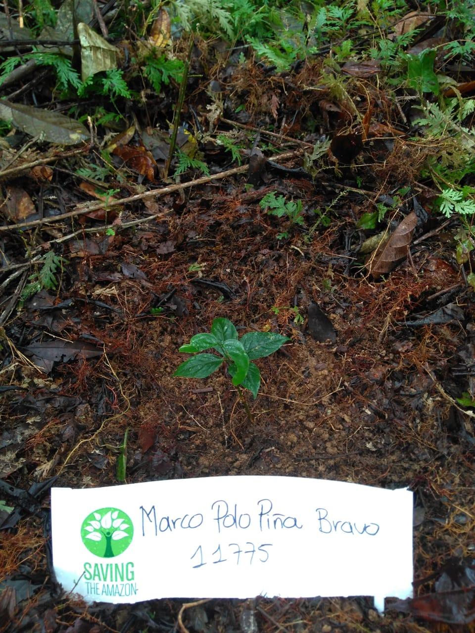 Marco Polo abacaxi Bravo