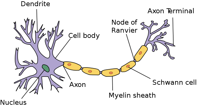 Name And Draw The Longest Cell Found In Our Body Scholr