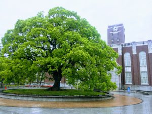 A beautiful tree in front of Kyoto university's campus