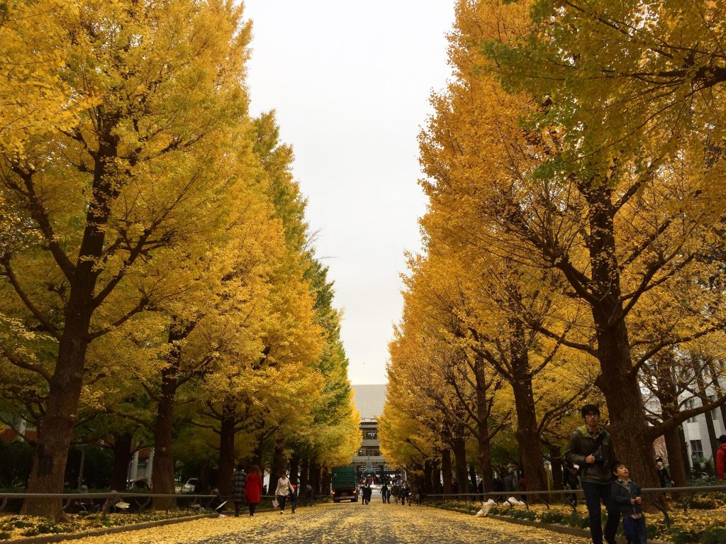 The gingko tree lined Keio University Hiyoshi Campus entrance