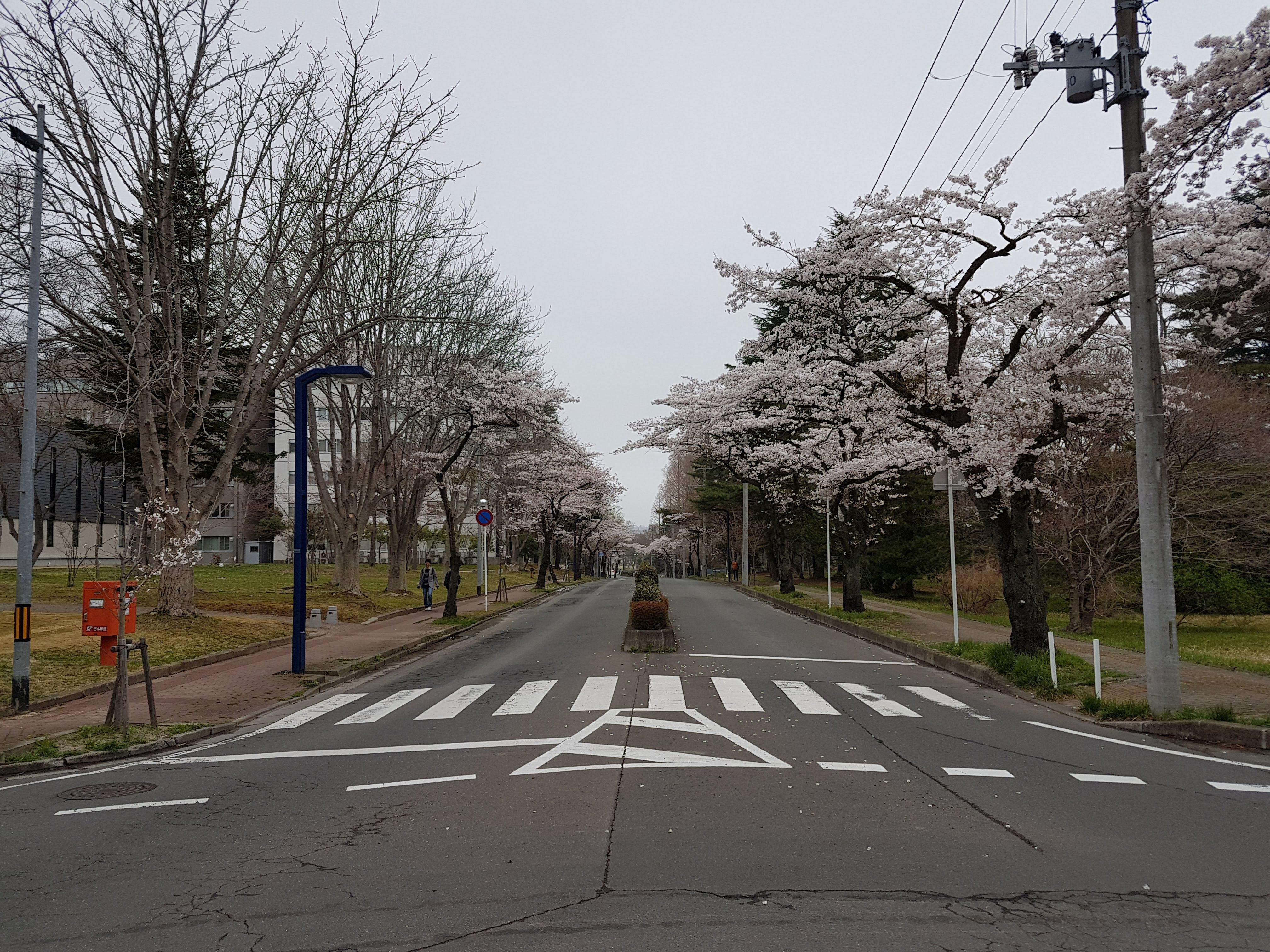The Sakura trees on the road in spring at Katahira in Sendai, Miyagi.