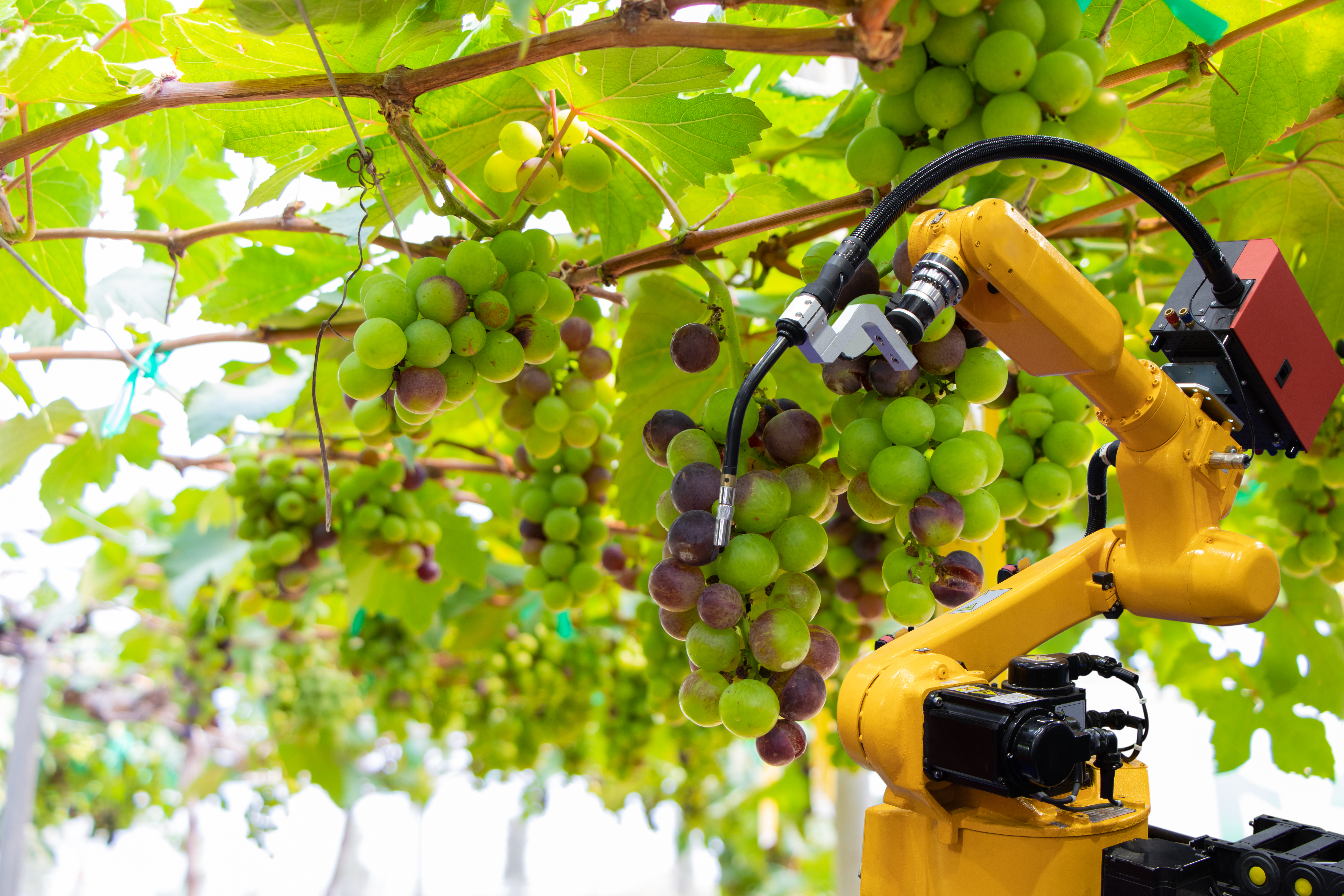 robot arm picking grapes on vine