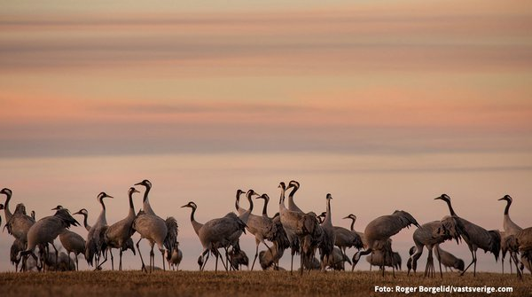 Cranes standing in twilight landscape - Photo Cred_1200.jpg