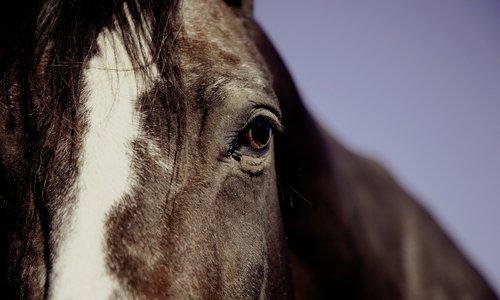 Häst Videquus