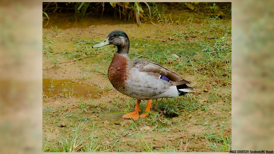 World's Loneliest Duck 'Trevor' Dies