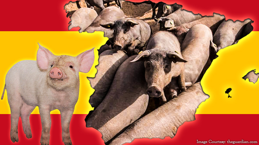 Pigs Outnumber the Human Population in Spain