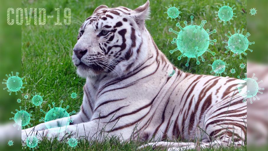 Delhi Zoo Confirms the Dead White Tigress Tests Negative For COVID-19