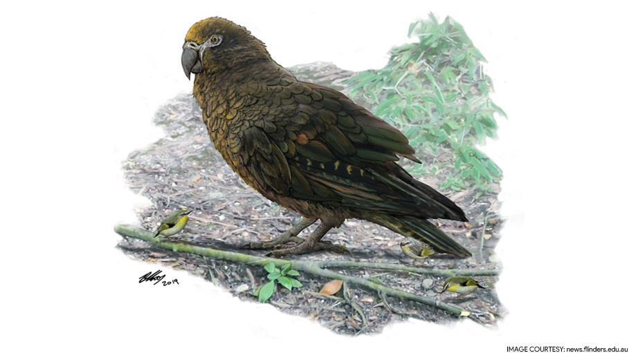 Sqawkzilla, a 3-Foot Prehistoric Parrot is Recorded the Biggest Bird Ever Found