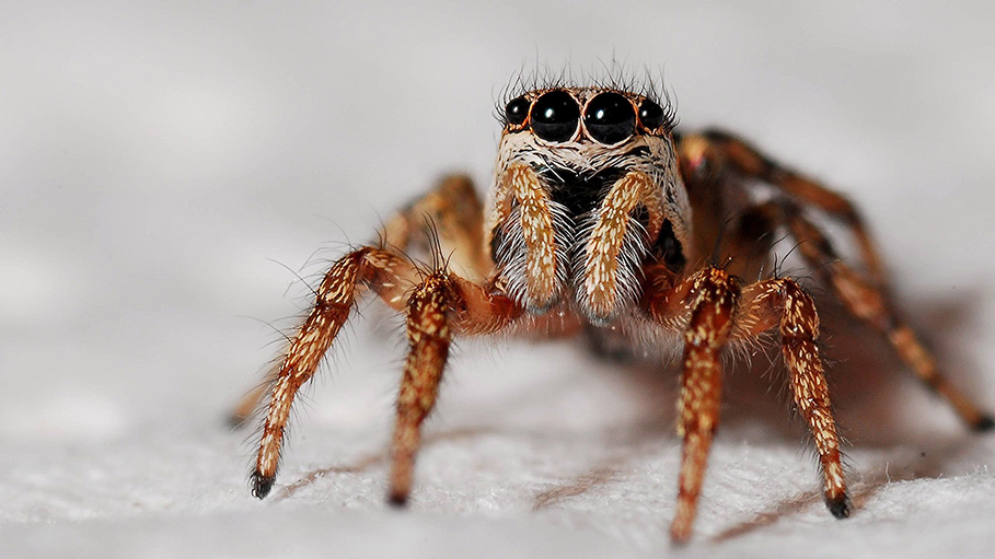 Spiders Can Eat All Humans on Earth, in a Year