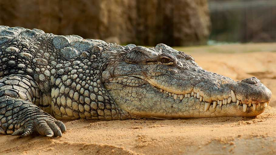 Crocodile Rescued from Toilet of House in Firozabad