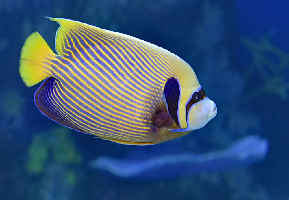 angelfish popular types of pet fish