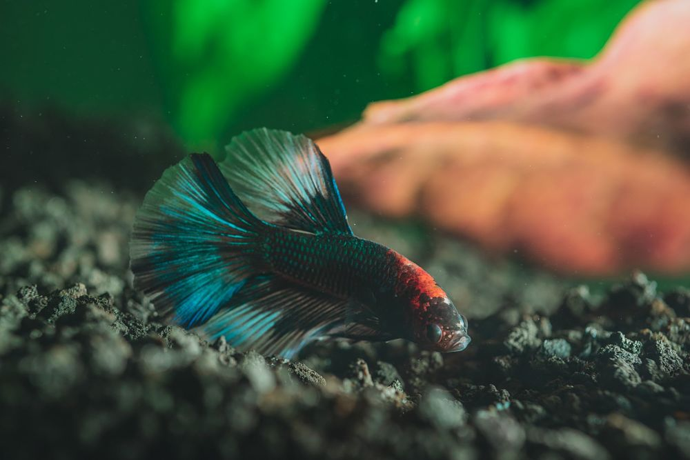 betta popular types of pet fish