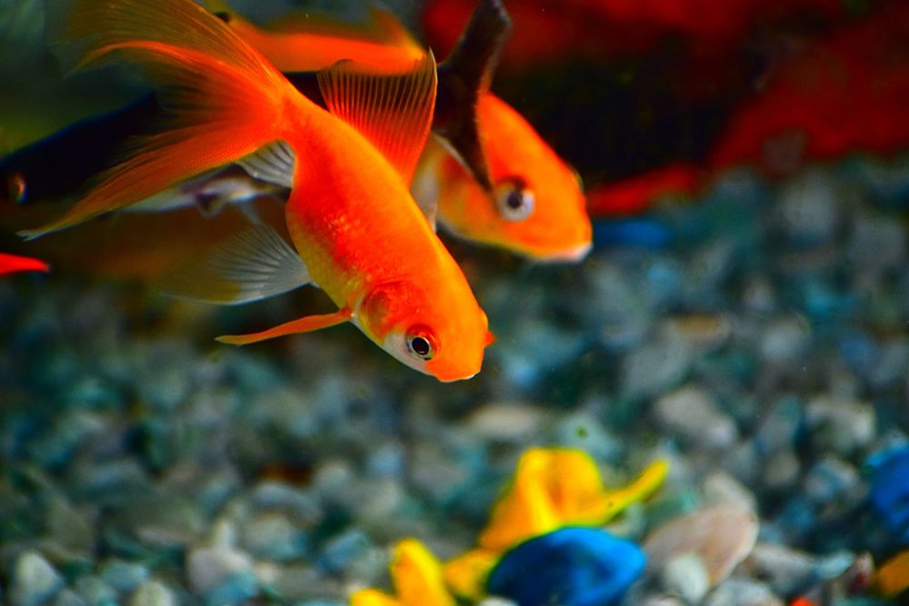 goldfish popular types of pet fish