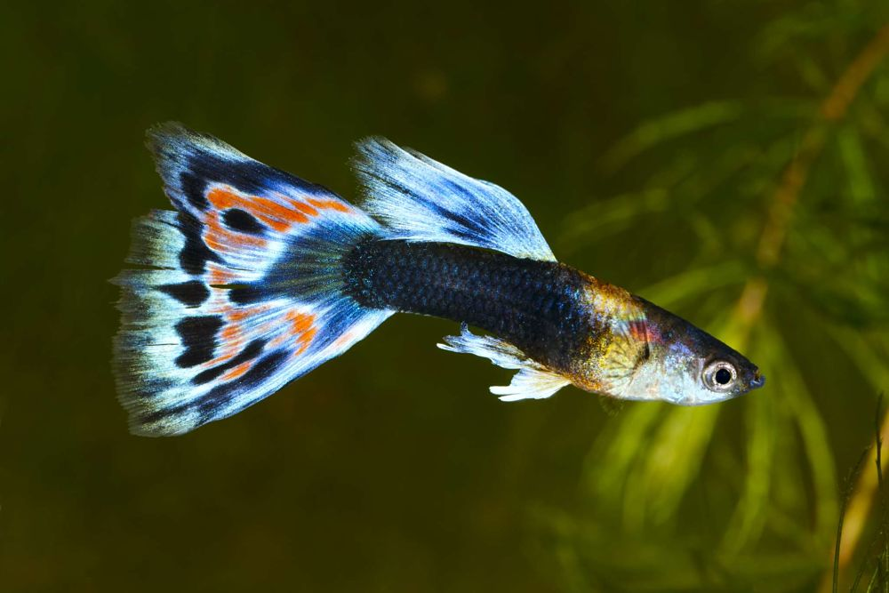 guppies popular types of pet fish