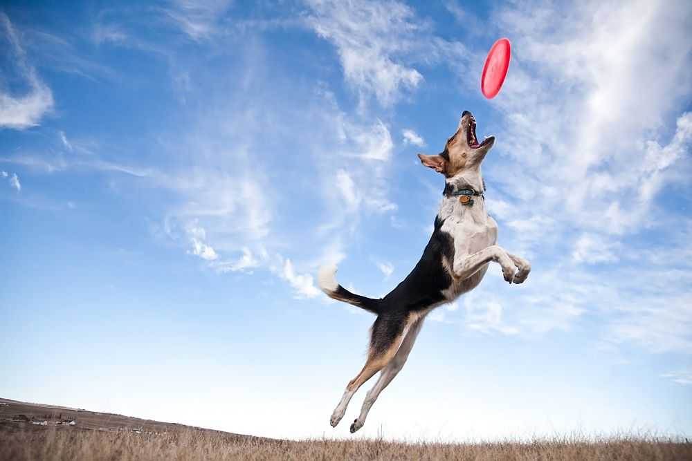 games for dogs frisbee