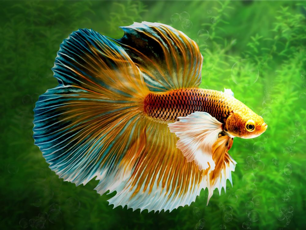 best low maintenance pets for apartments beta fish