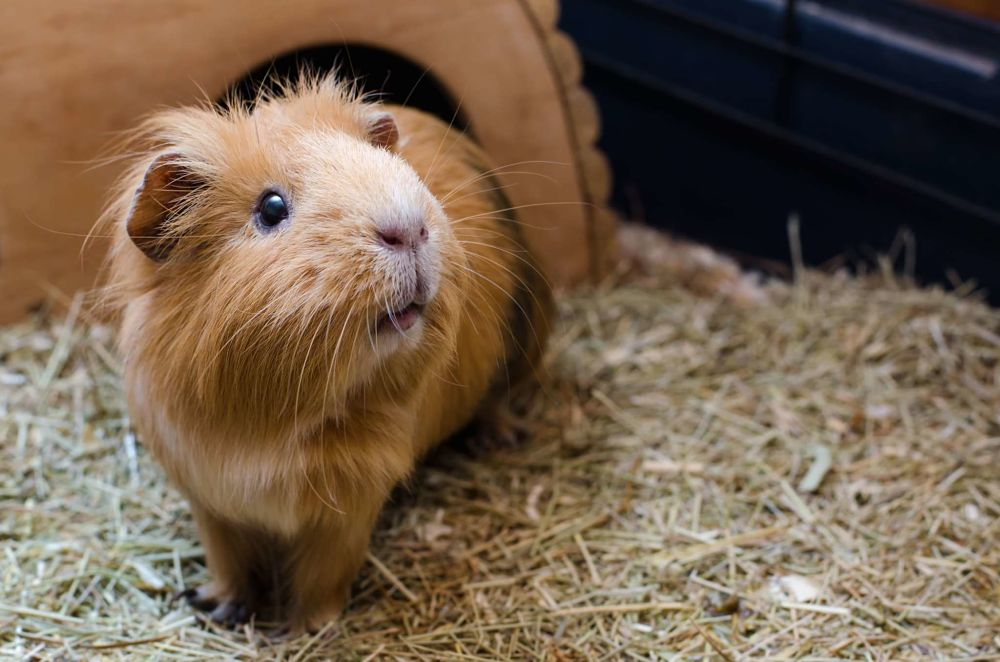 best low maintenance pets for apartments guinea pigs