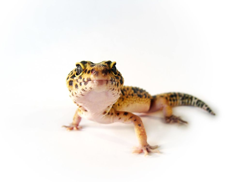 best low maintenance pets for apartments leopard geckos
