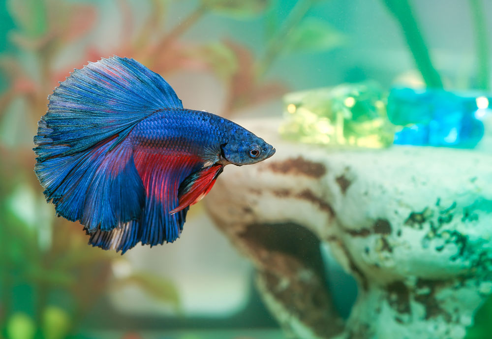 best low-maintenance pets for kids betta fish