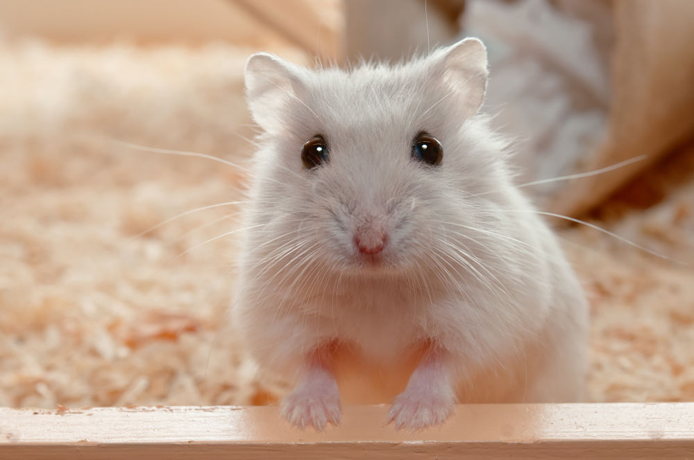 best low-maintenance pets for kids hamsters