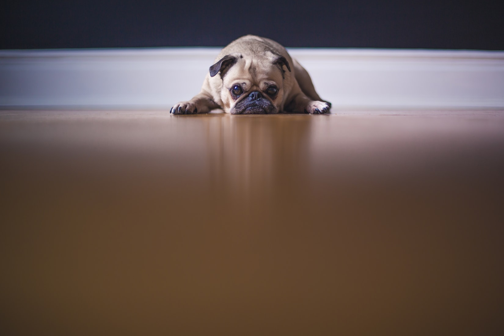 pug laying on the floor
