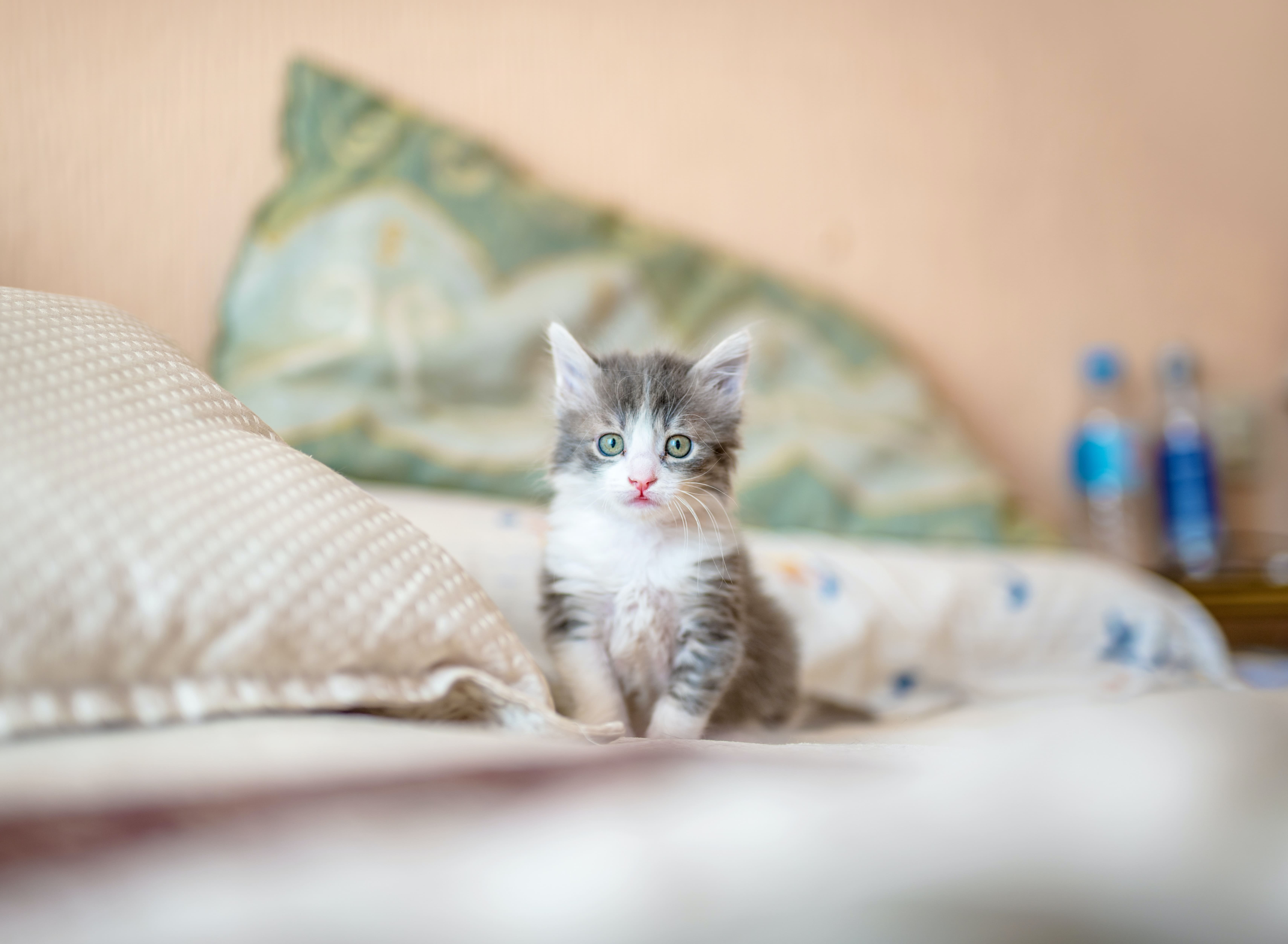 house kitten in bed