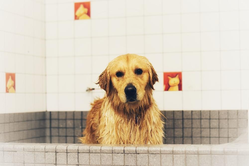 yellow lab taking a bath