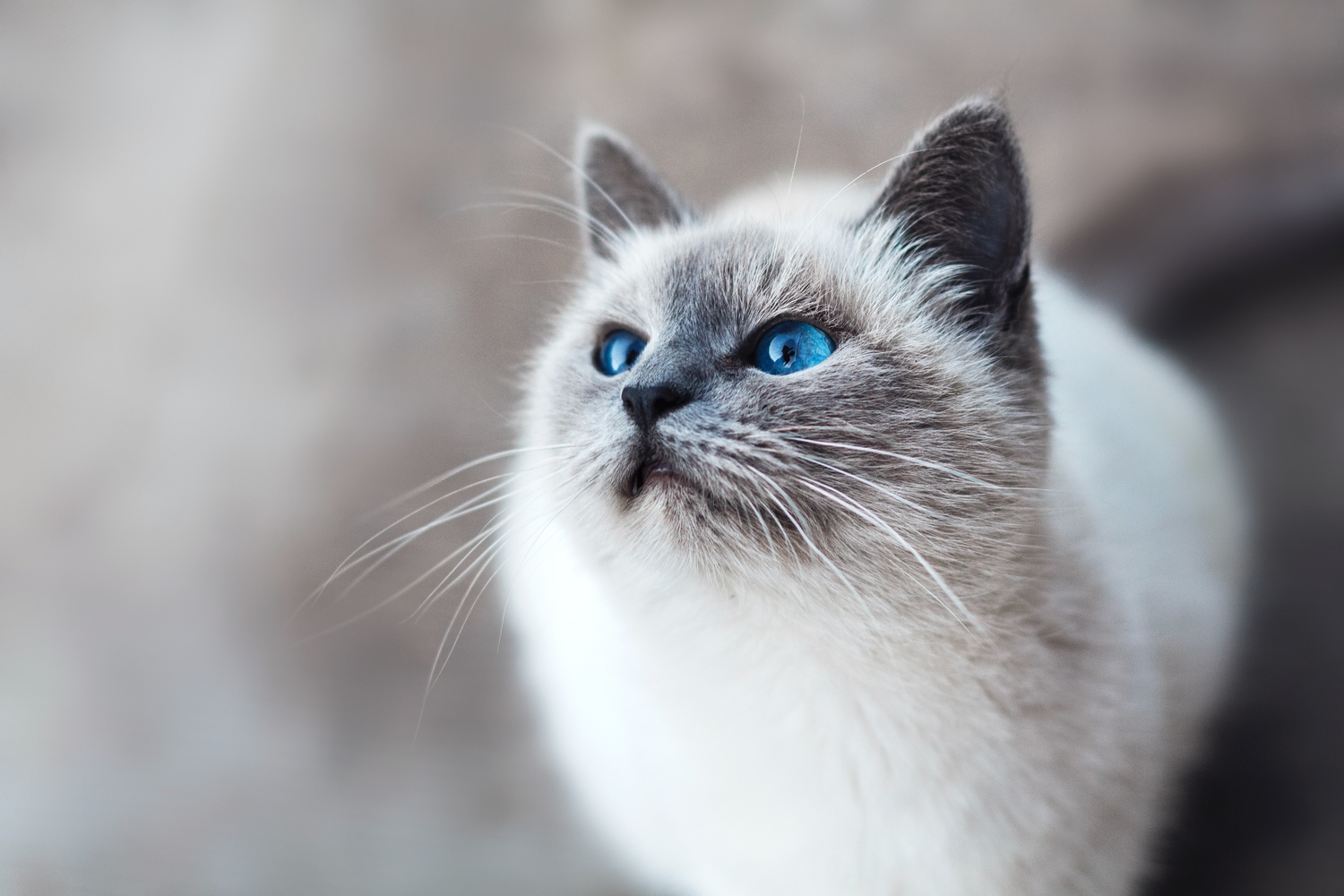 alert cat with blue eyes
