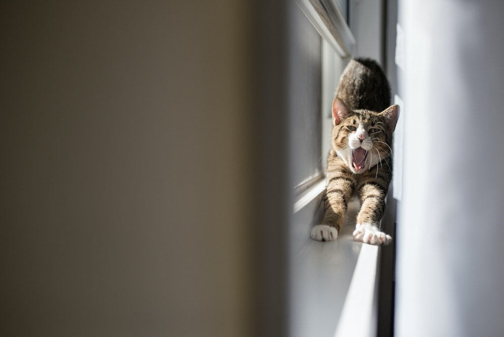 cat stretching on window sill