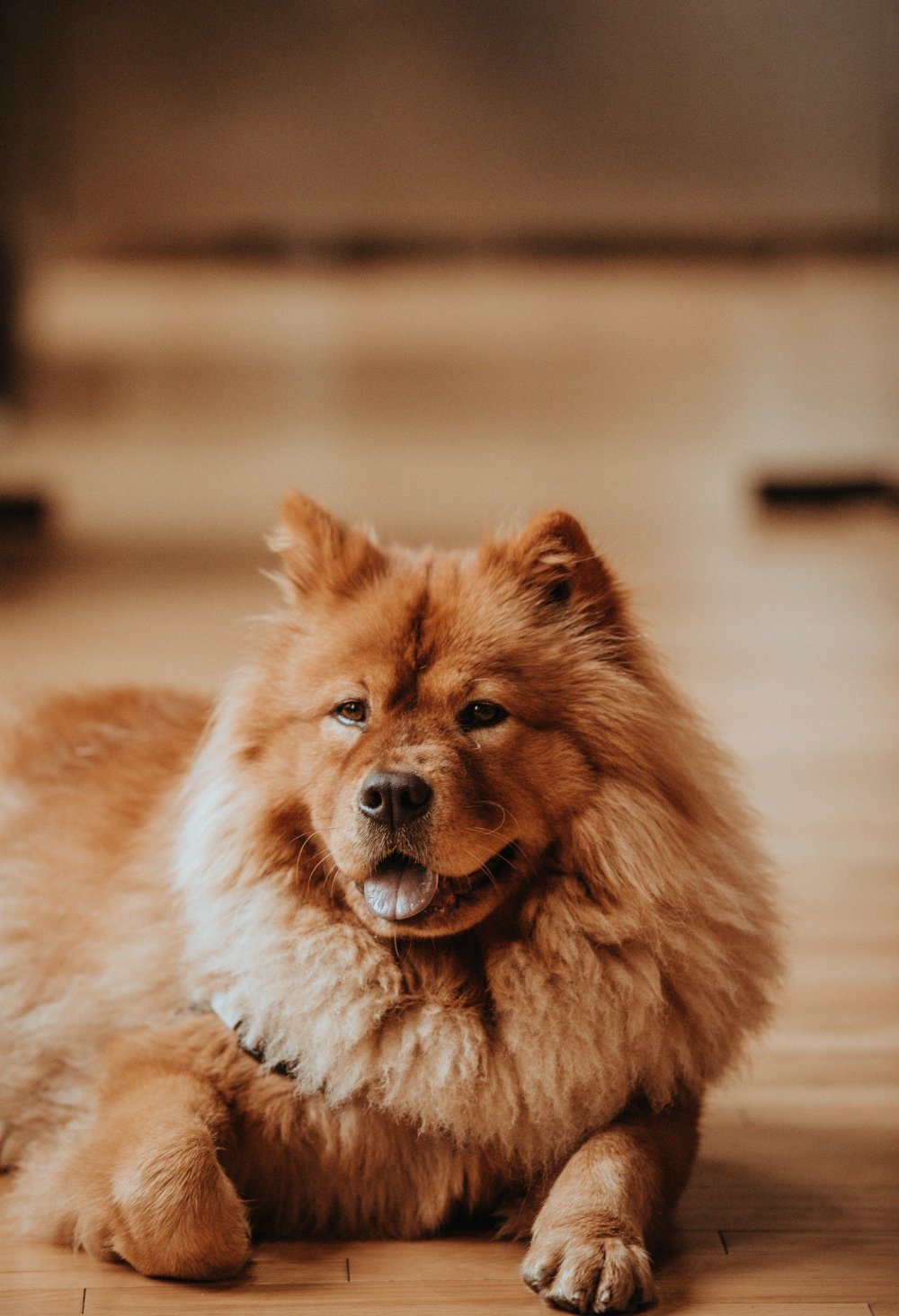 fluffy brown resting dog