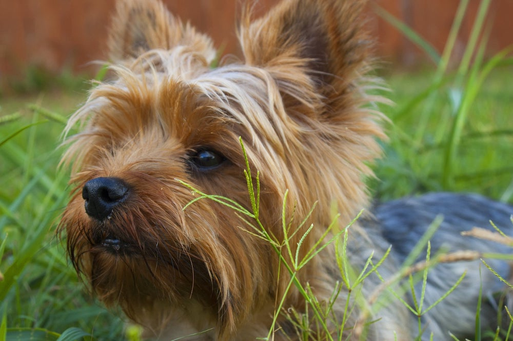 Terrier in Grassy Field