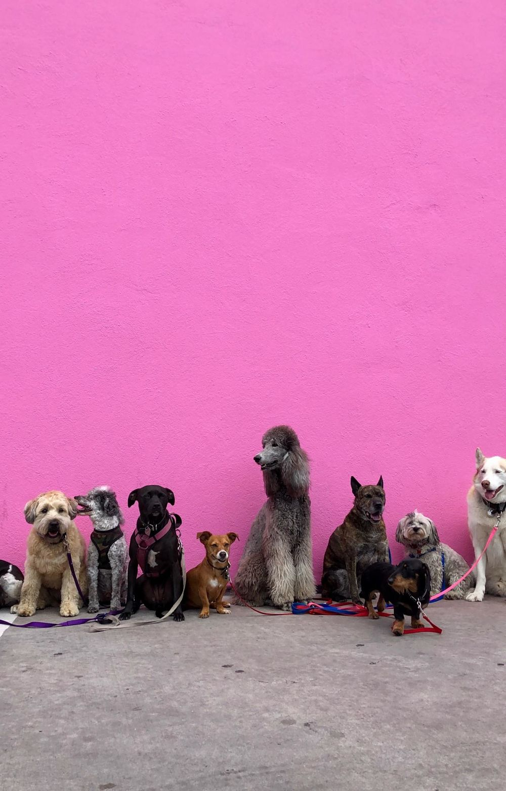 dogs in front of a pink wall