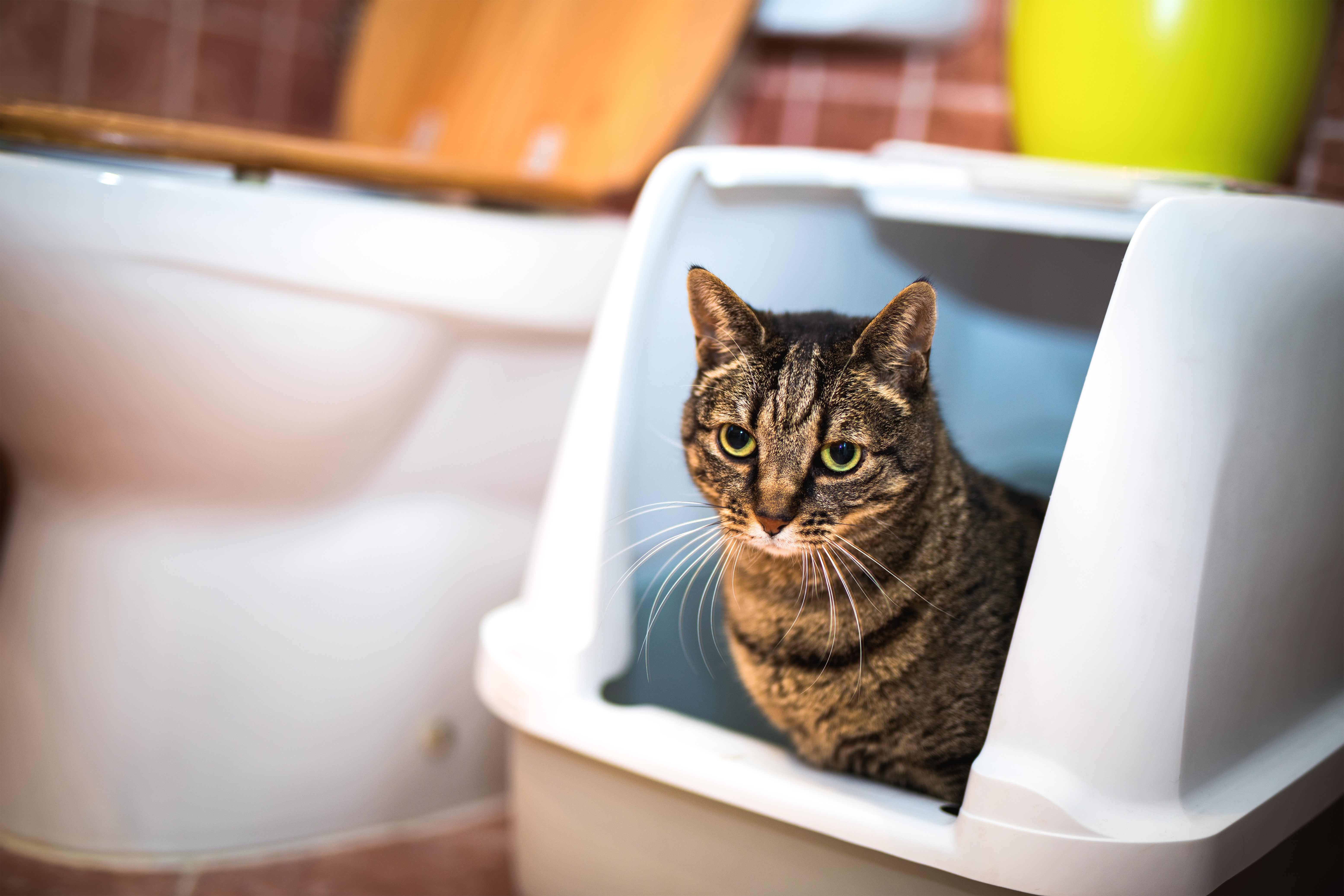 how to potty train a cat introduce cat