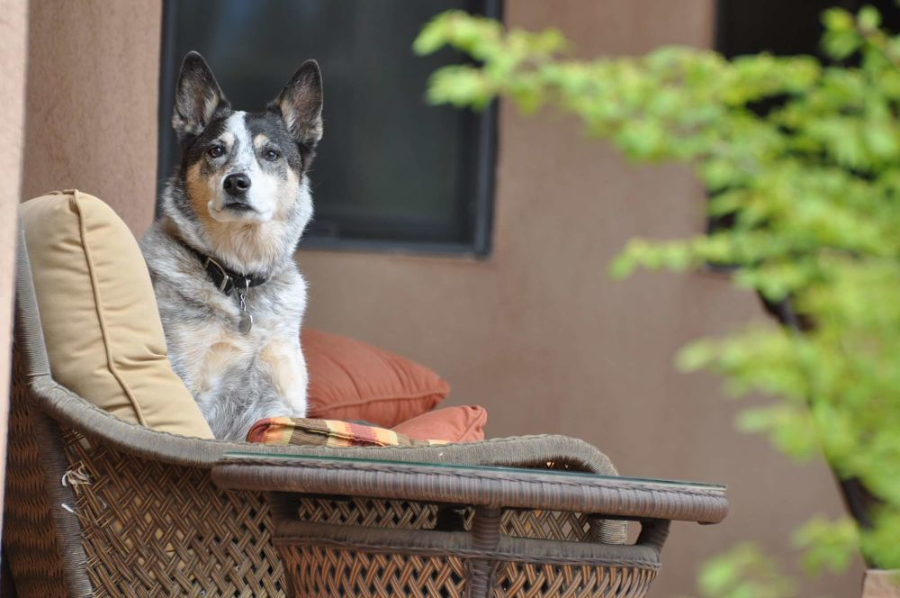 the top 10 smartest dog breeds australian cattle dog